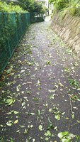 2019 sep 09 leaves blown onto path